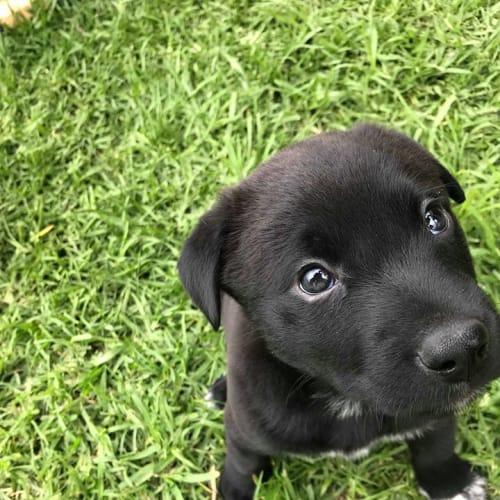 Tank ~ cuddly Cattle dog X Mastiff puppy - Australian Cattle Dog x Mastiff Dog