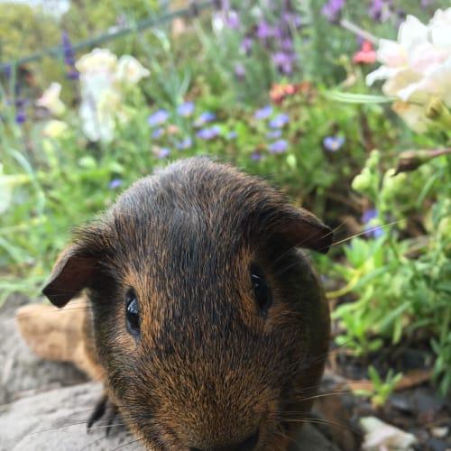 Sailor John  - Smooth Hair Guinea Pig