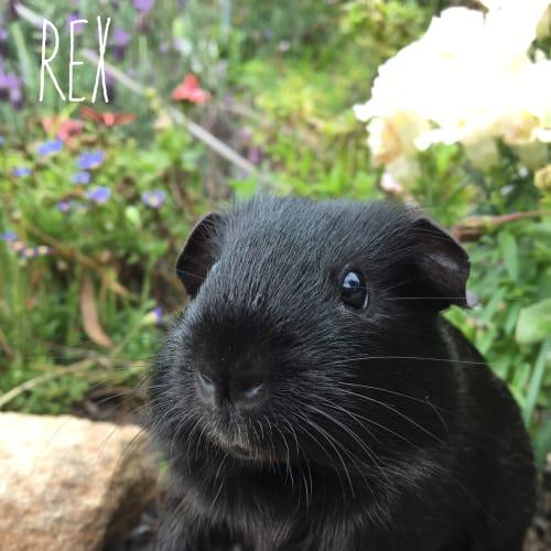Rex  - Smooth Hair Guinea Pig
