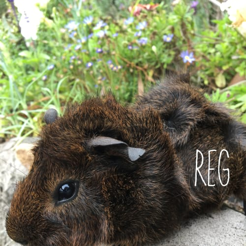 Reg  - Abyssinian Guinea Pig