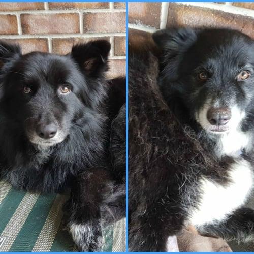 Sugar & Spice - $150 Adoption Fee - Alaskan Malamute x Border Collie x German Shepherd Dog