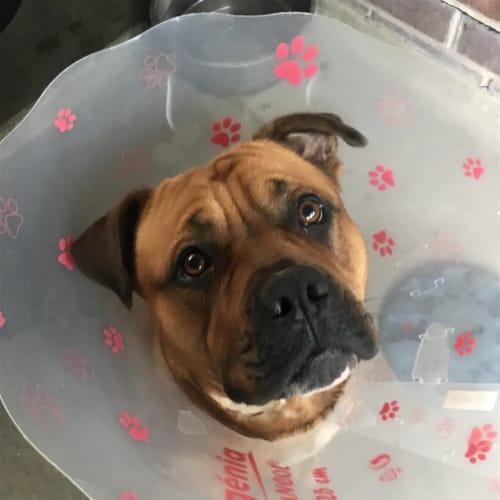 Kieely - Cross Misc, Large Dog