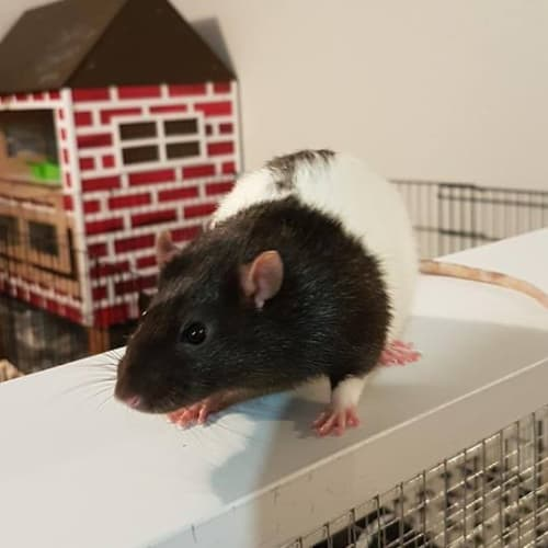 Cheese -  Rodent