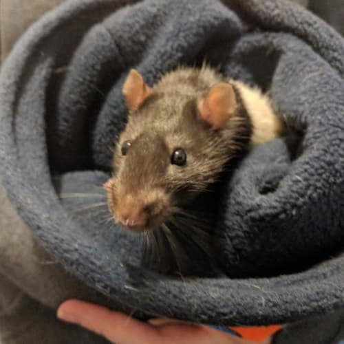 Dennis -  Rodent