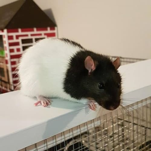 Ziggy -  Rodent