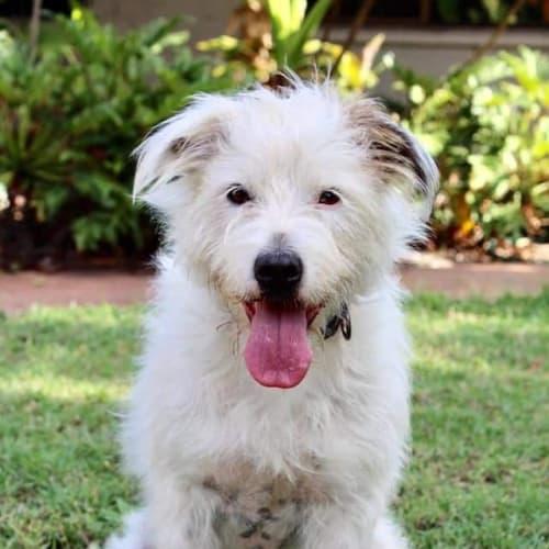 Chloe - Terrier x Wolfhound Dog