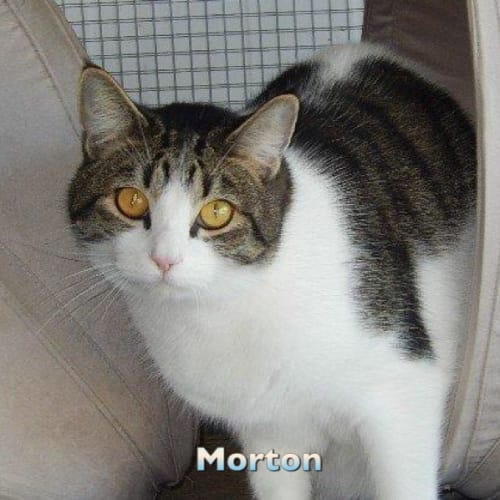 Moreton - Domestic Short Hair Cat