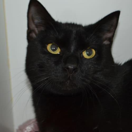 Rajha - Domestic Short Hair Cat