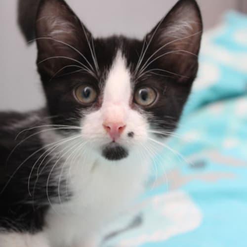 Omega NK2651 - Domestic Short Hair Cat