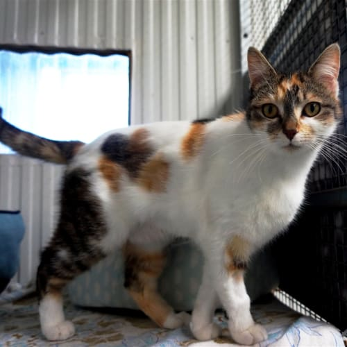 Camilla - Domestic Short Hair Cat