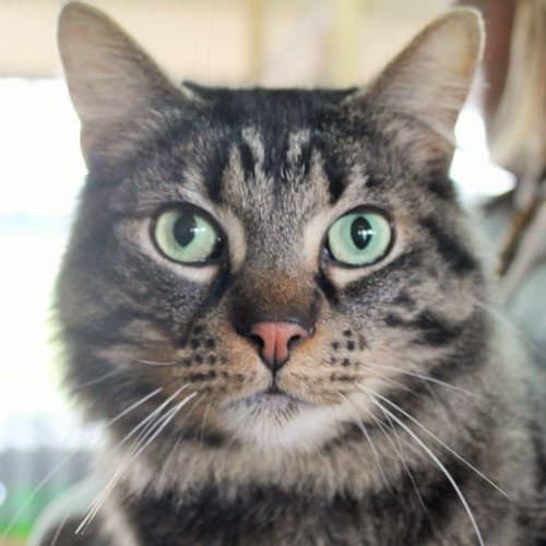 Bronson - Domestic Medium Hair Cat