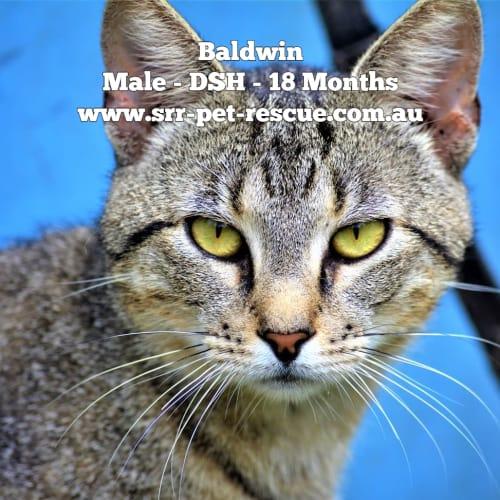 Baldwin - Domestic Short Hair Cat