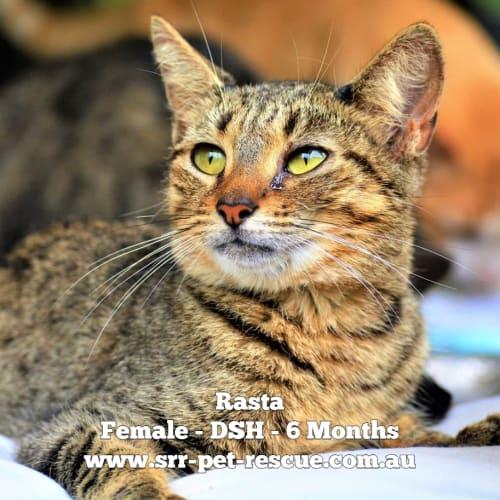 Rasta - Domestic Short Hair Cat