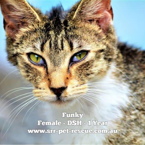 Funky - Domestic Short Hair Cat