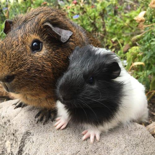 Toby & Elizabeth - Ridgeback Guinea Pig