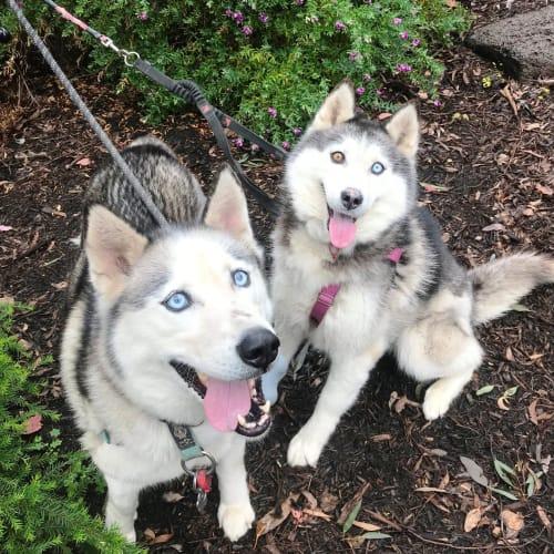 Micah & Star - Siberian Husky Dog