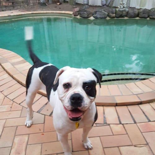 Fifi - American Bulldog