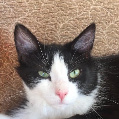 Percy the poofy pantalooned tom kitten - Domestic Short Hair Cat