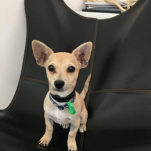 Cody - Chihuahua x Fox Terrier Dog