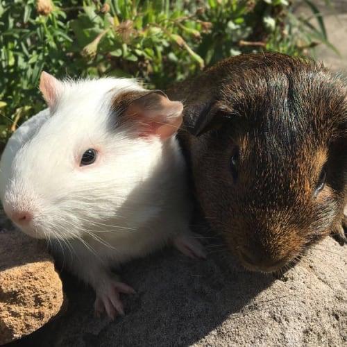 Ashima & Percy  - Smooth Hair Guinea Pig