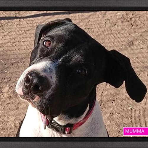 Mumma - Bull Arab Dog
