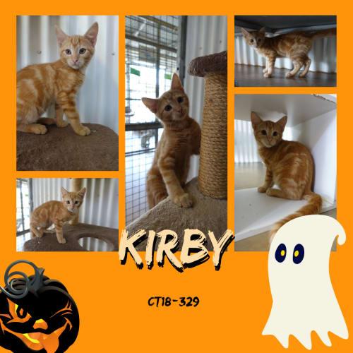 Kirby   CT18-329 - Domestic Short Hair Cat