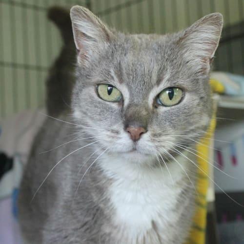 Boop - Domestic Short Hair Cat