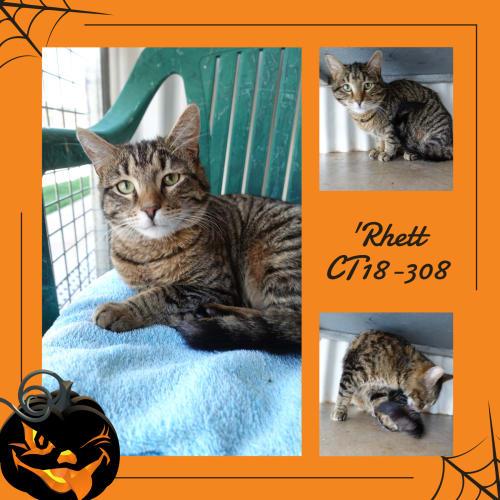 Rhett   CT18-308 - Domestic Short Hair Cat