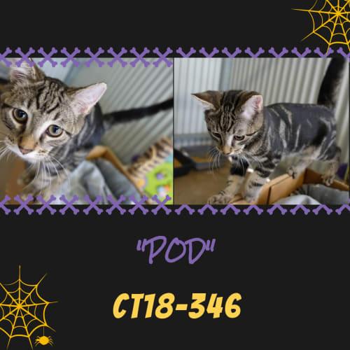 Pod   CT18-346 - Domestic Short Hair Cat
