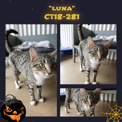 Luna   CT18-281 - Domestic Short Hair Cat