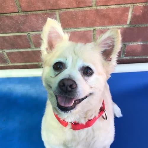 Tommy - Pomeranian Dog
