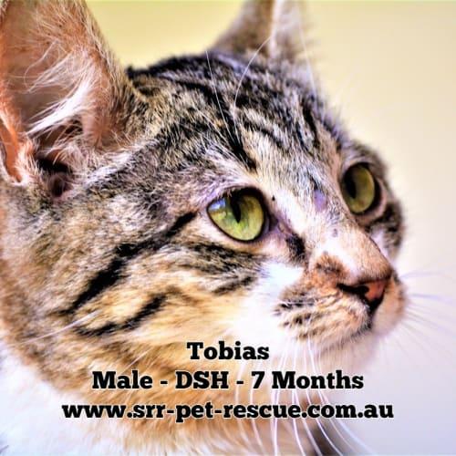 Tobias - Domestic Short Hair Cat
