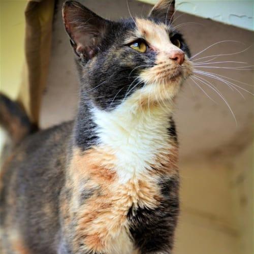 Carablu - Domestic Short Hair Cat