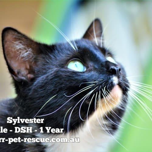 Sylvester - Domestic Short Hair Cat
