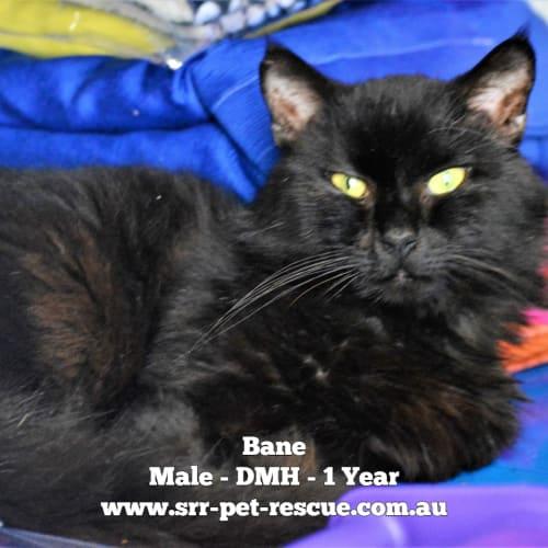 Bane - Domestic Medium Hair Cat