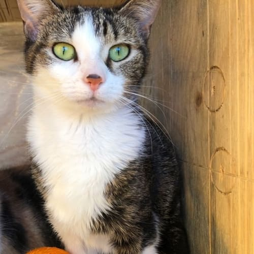Paris (Located in St KIlda East) - Domestic Short Hair Cat