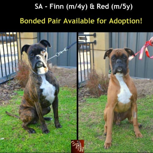 Red and Finn - Boxer Dog