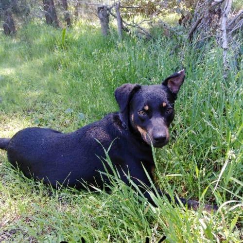 Charlie Boy - Kelpie Dog