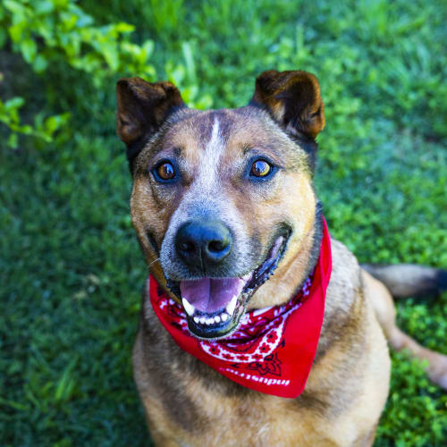Sid ~ 9 year old Red Cattle Dog x  - Australian Cattle Dog