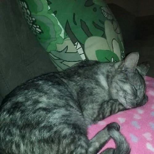 Pia - Domestic Short Hair Cat
