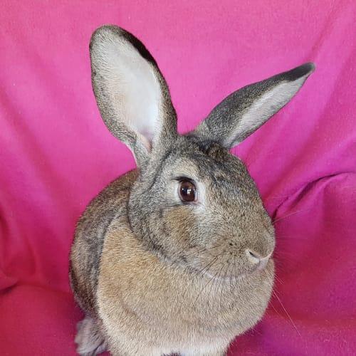 Alegra - Domestic Rabbit