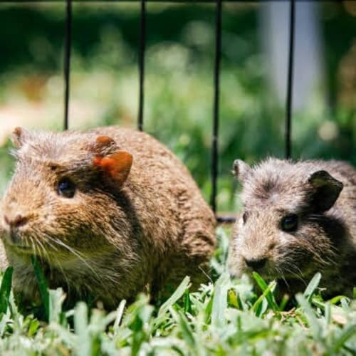 Quill and Wombat - Guinea Pig