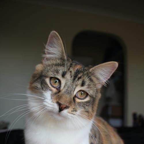 Zinovia (Located in Brunswick West) - Domestic Medium Hair Cat