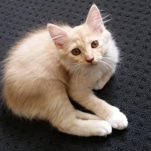 Harvey - Domestic Medium Hair Cat