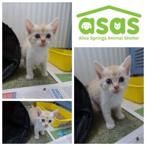 Monty  CT18-362 - Domestic Short Hair Cat
