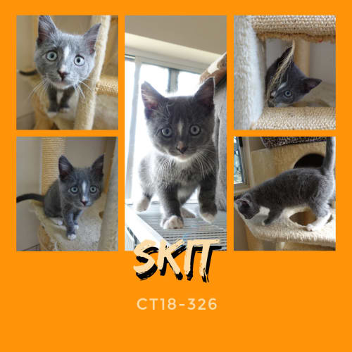 Skit  CT18-326 - Domestic Short Hair Cat