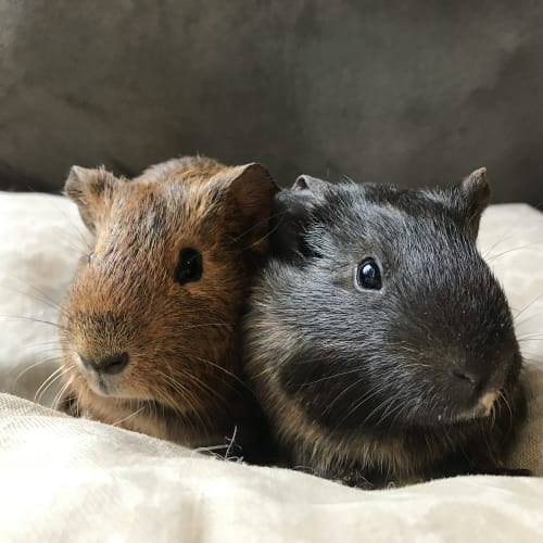 Gloria and Jean  - Smooth Hair Guinea Pig