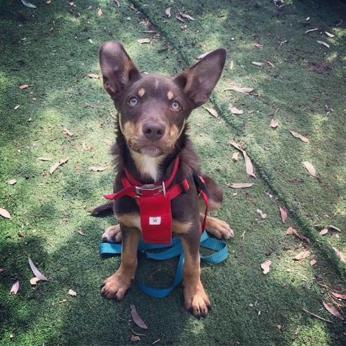 Kenny  - Kelpie Dog