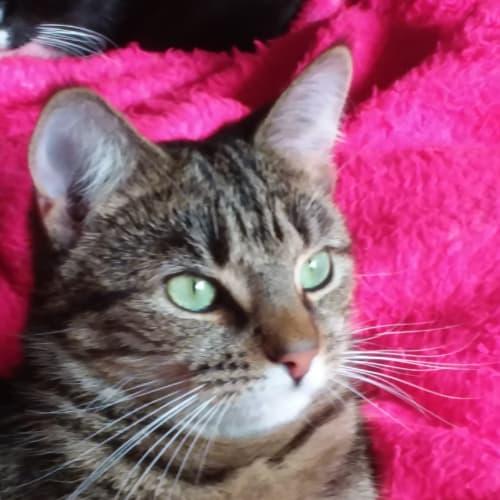 Emma - Domestic Short Hair Cat