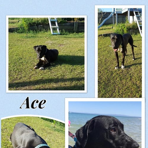 Ace - Labrador Dog